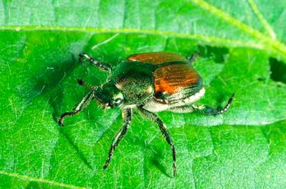 Japanese Beetles feed on over 300 species of plants, causing severe damage to the leaves.