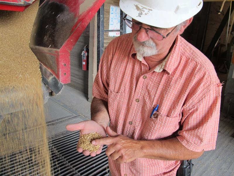 John Peake examines wheat as its delivered to the grain elevators in American Falls.