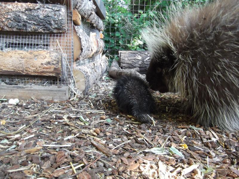 "The baby porcupine, known as a ""Porcupette"" with Dad Zeus"
