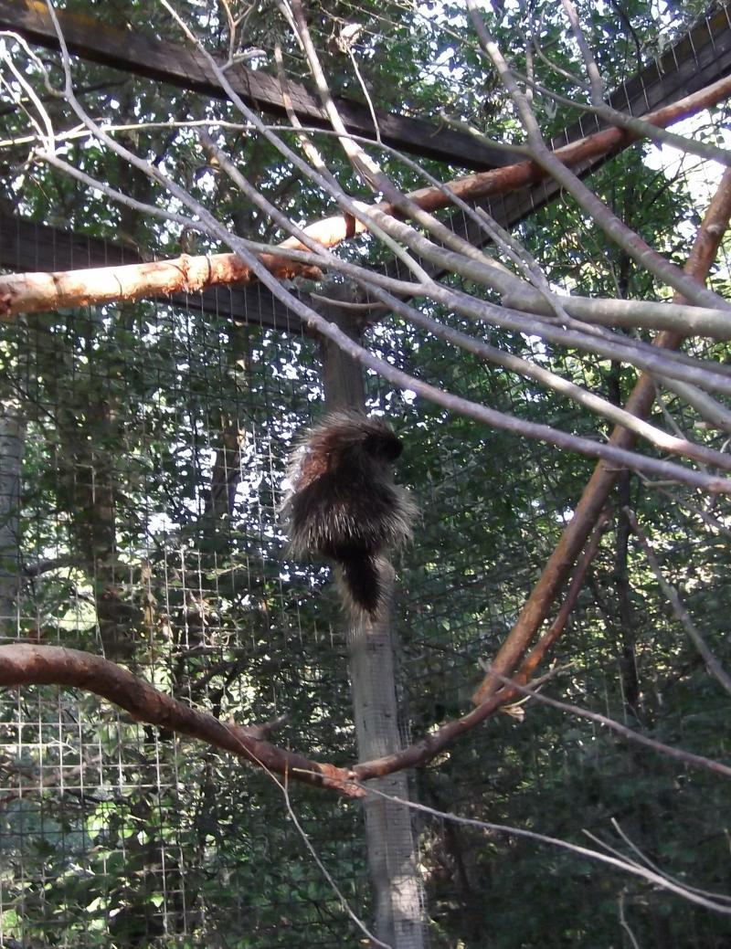 Baby Porcupine Born At Zoo Boise Boise State Public Radio
