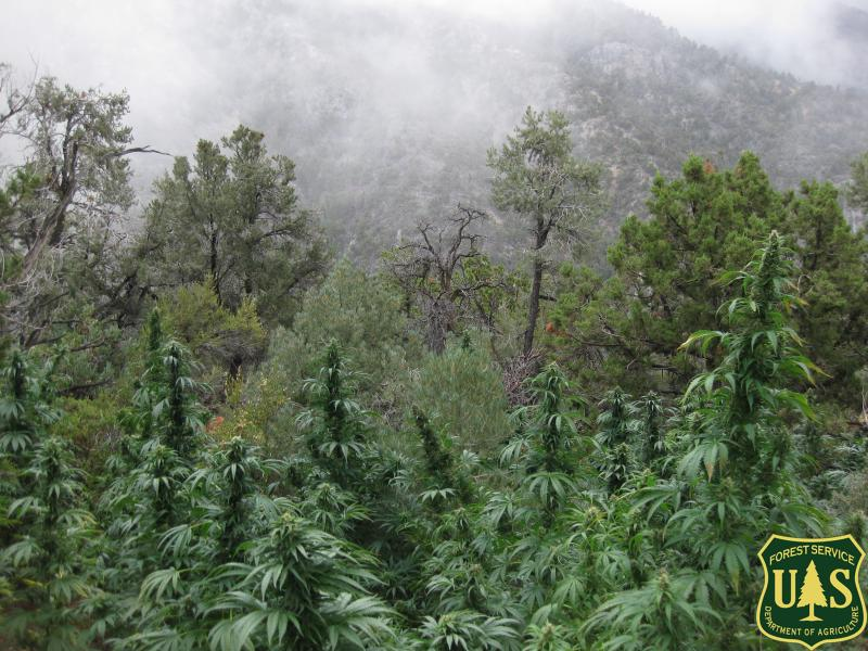 Marijuana found growing on public land during Operation Mountain Sweep