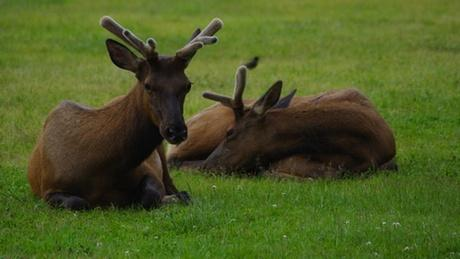 Elk on the grass in Packwood, Washington. A mysterious hoof disease is spreading through herds in southwest Washington.