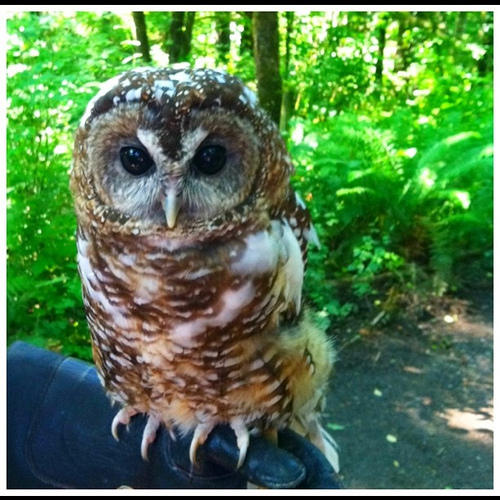 If the Trump Administration removes blanket rules protecting threatened species, like the spotted owl, those species could be at risk.