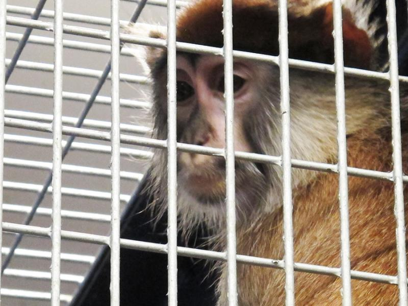 Both monkeys will remain quarantined before meeting the zoo's male patas monkey.