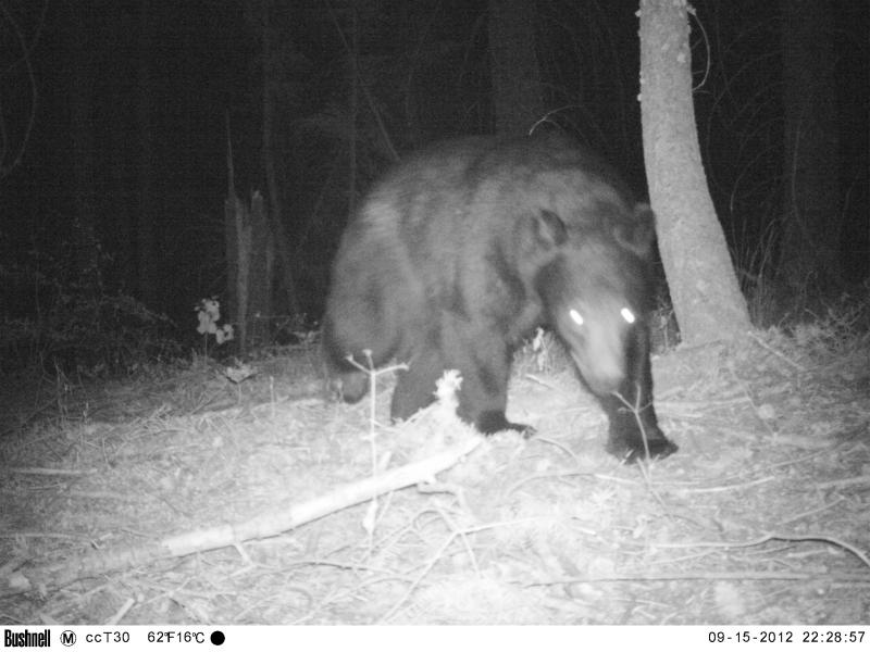 The cameras catch a bear walking by.