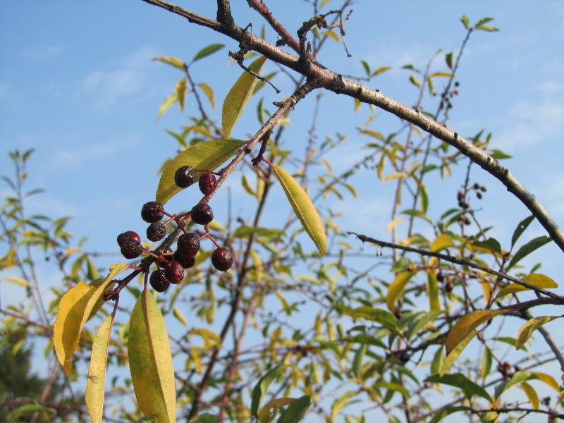 The birds fatten up on vegetation like chokecherries, bitter cherries, as well as insects.