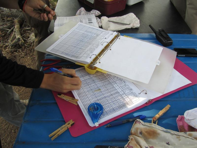 Each bird is banded, weighed and measured.  All the information is charted.