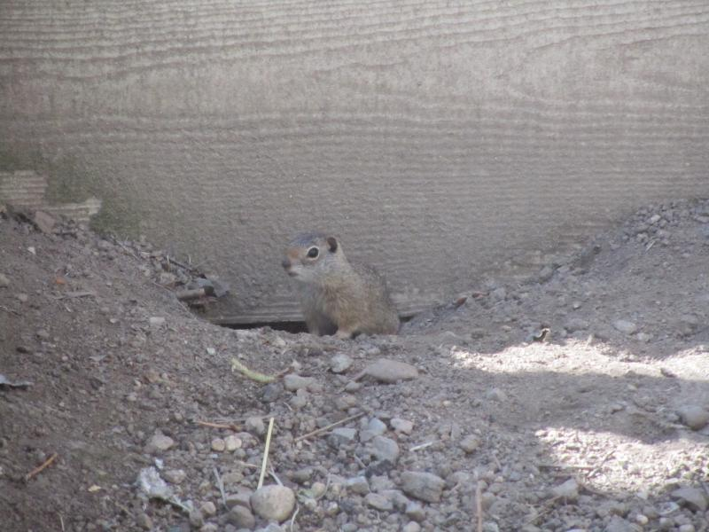 Squirrels, like this one, are bred at Zoo Boise, then trapped and released at a site in the wild.