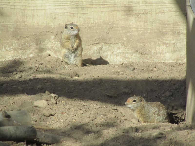Southern Idaho Ground Squirrels are bred at Zoo Boise to be trans-located in the wild.