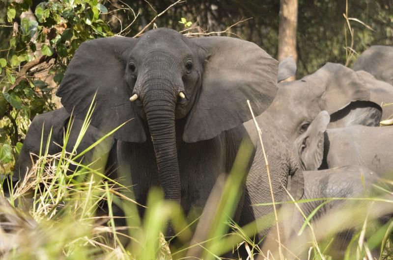 Elephants roam in Gorongosa.