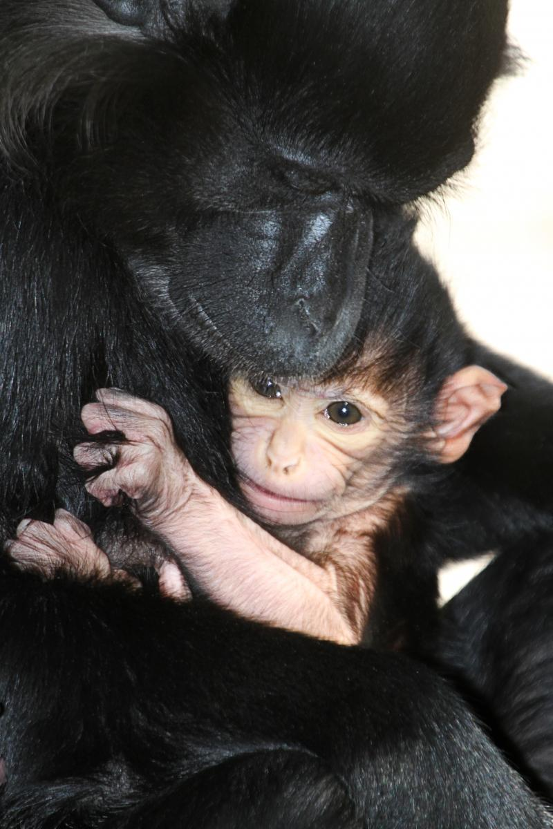 Mom Betty and her baby mangabey monkey who hasn't been named.