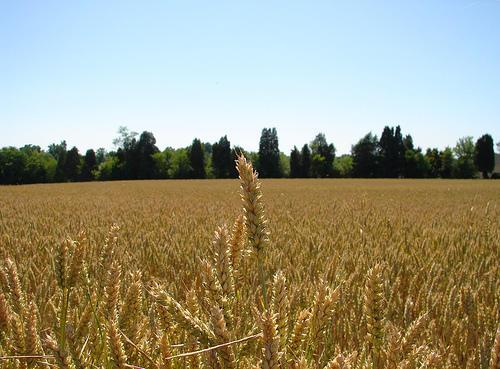 Idaho's 2018 wheat crop is looking good -- so far.