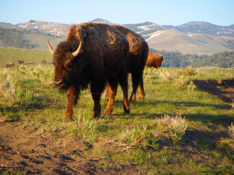 Yellowstone National Park, Bison, Lamar Valley
