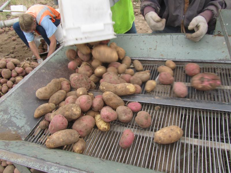 The prisoners put the spuds in buckets and dump them on a machine with a conveyor belt.