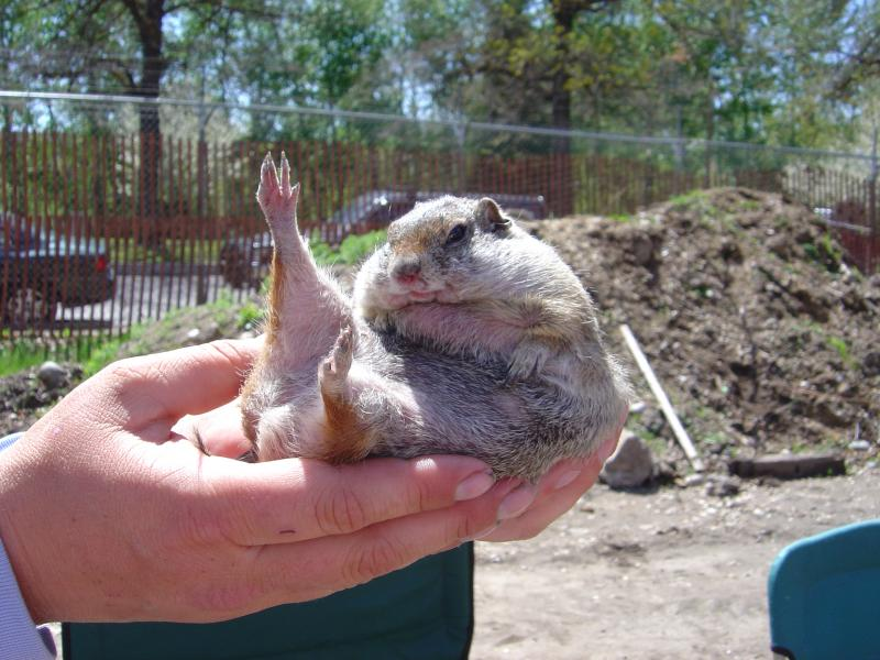 The squirrels hibernate in summer, when food and water dry up.  They fatten up first, like this portly fellow, nicknamed Jabba the Hut.  Lohr says  they become Fair food, like deep-fried butter, a very fatty – and nutritious – snack for predators.