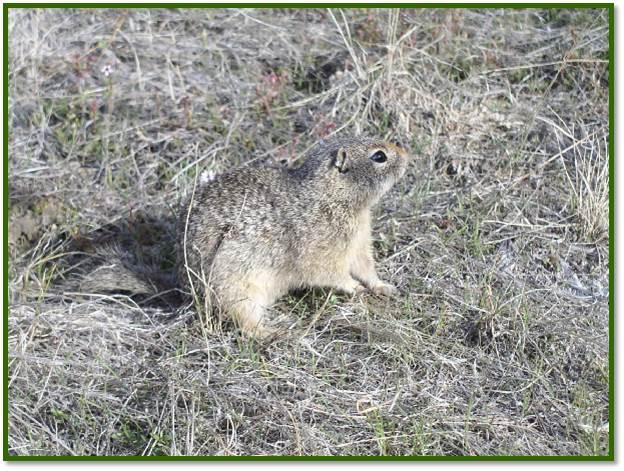 The squirrels need soil they can burrow in below the frost line.  That means at least three feet deep.  Burrows are very important.  The squirrel hibernates there, raises young, uses it for temperature control, and for refuge from predators.