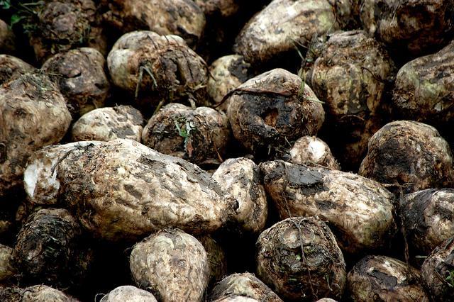 Agriculture, sugar beets, harvest