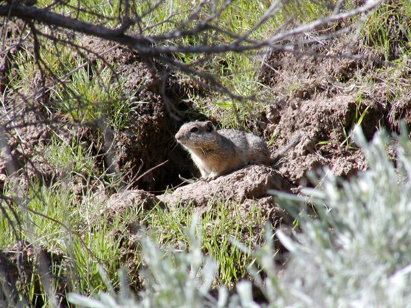 The squirrels play a big part in the environment.  They're food for all types of predators, from hawks to snakes to badgers.  They help regulate the soil as they dig their burrows.  And they act as a warning system for the rest of the environment.