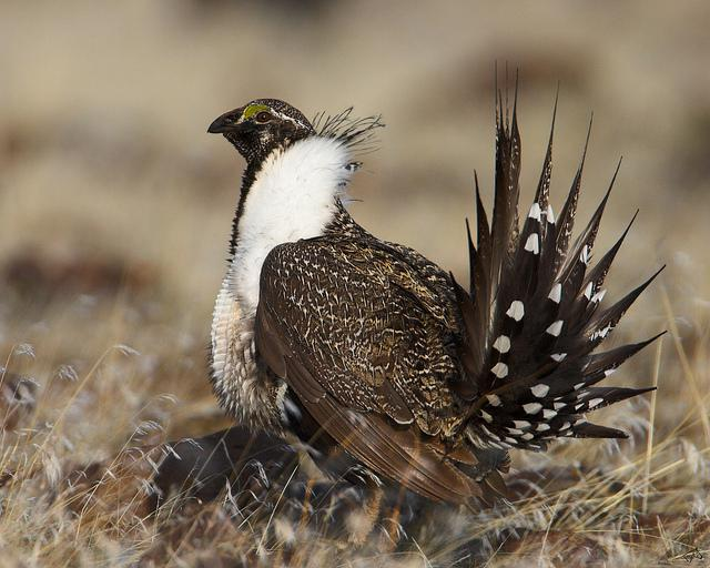 sage grouse, wildlife
