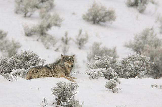 wolf, wildlife, yellowstone