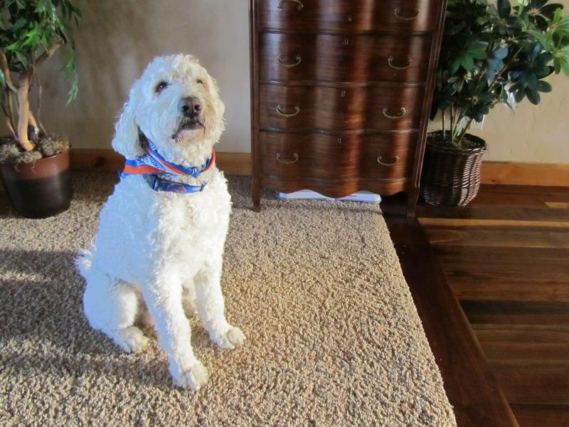 service dog, awescar