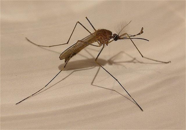 mosquito, bug, West Nile
