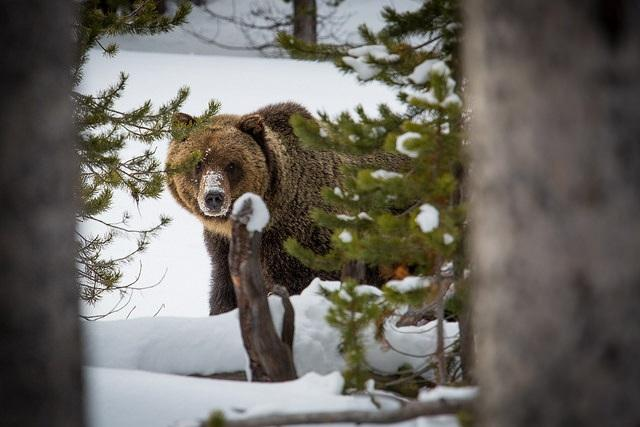 grizzly, bear, yellowstone