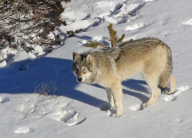 A wolf from the Yellowstone Delta Pack walks in the snow.