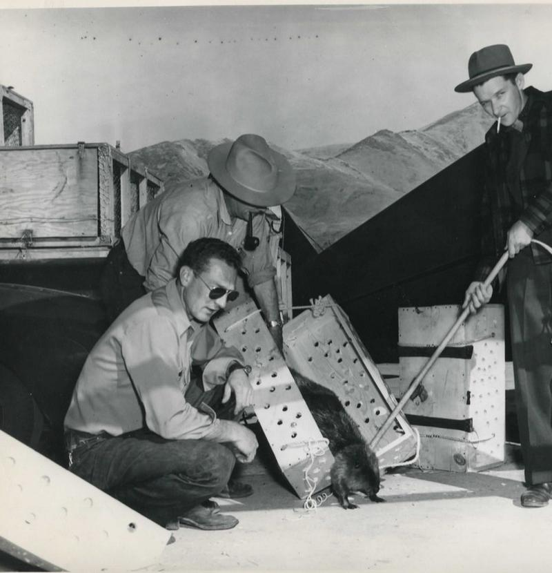 Idaho Fish and Game officers load a beaver into a wooden box before he's loaded on a plane and dropped into the Idaho backcountry.