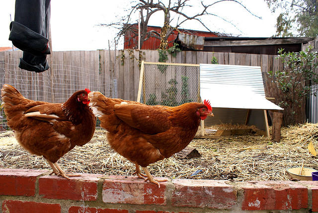 Backyard chicken owners should protect their flocks from bird flu by keeping wild waterfowl away from their birds.
