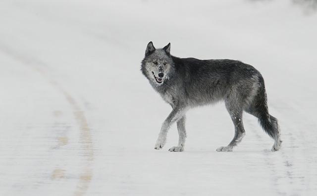 The plaintiffs allege the federal agencies are killing animals, including wolves, without scientific evidence the killings are neccessary.