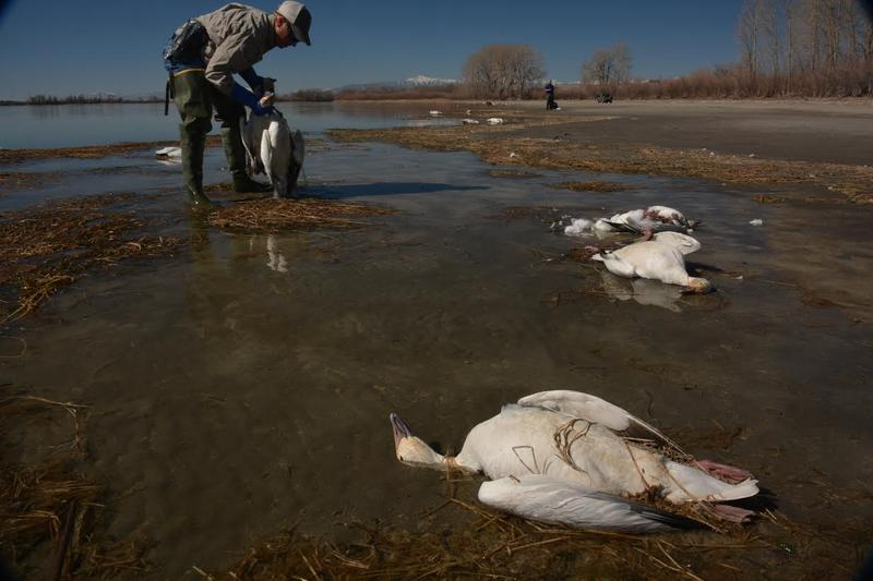 Jeff Knetter says Fish and Game officers continue to collect dead snow geese at Mud Lake.