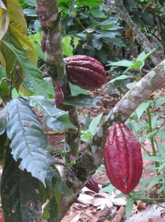 Dr. Lauren Fins found these cacao pods in Costa Rica. This is the source of chocolate.
