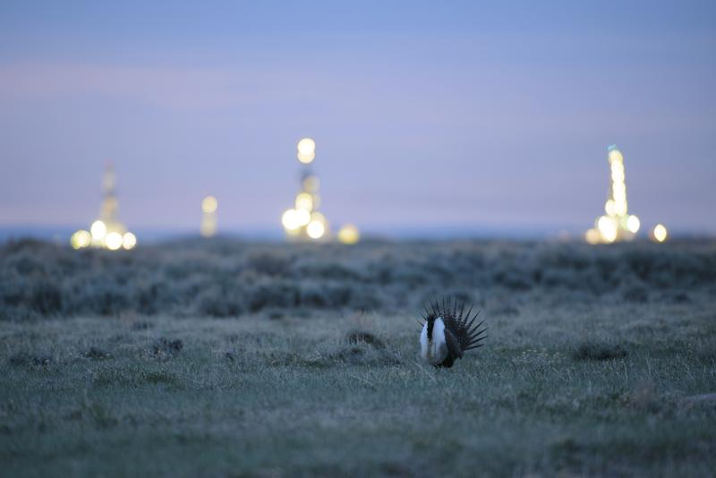 The greater sage grouse population has declined significantly in the last 100 years, as human development has encroached on the bird's habitat. Oil and gas development is one threat in places like Wyoming, while in Idaho wildfire is the big issue.