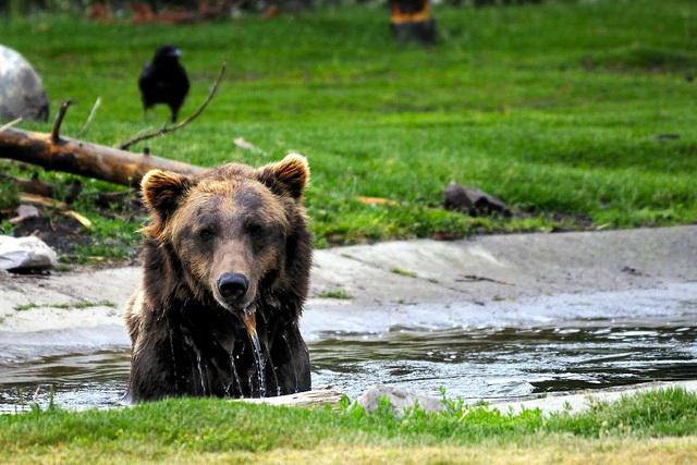 Grizzly, wildlife, grizzlies, endangered species list