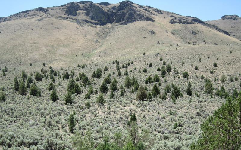Juniper trees stand amid sage brush, providing a perch for sage grouse predators.