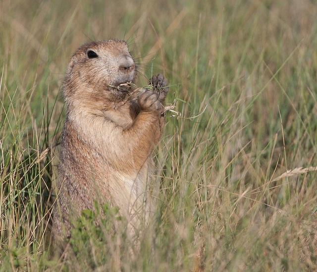 Prairie Dog, wildlife