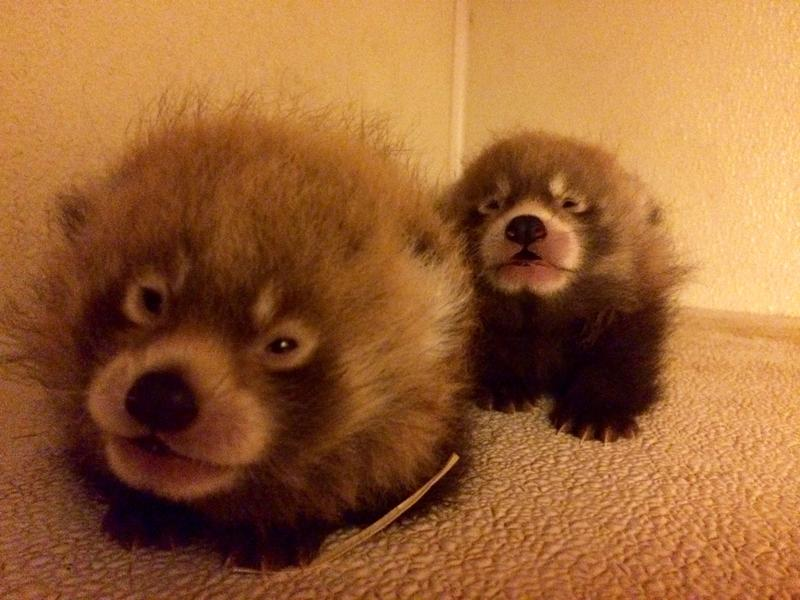 These red panda cubs were born June 18 at Zoo Boise.