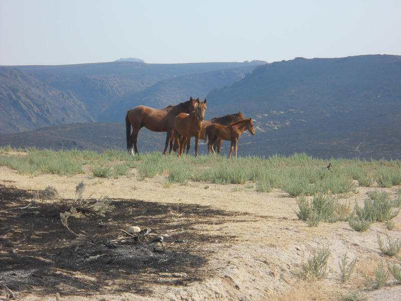 Wild horses stand in an unburned patch of the Soda Fire.