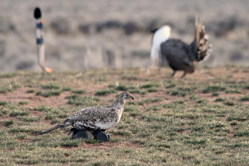 Evolutionary biologist Gail Patricelli built robotic hens to study the mating behaviors of sage grouse.