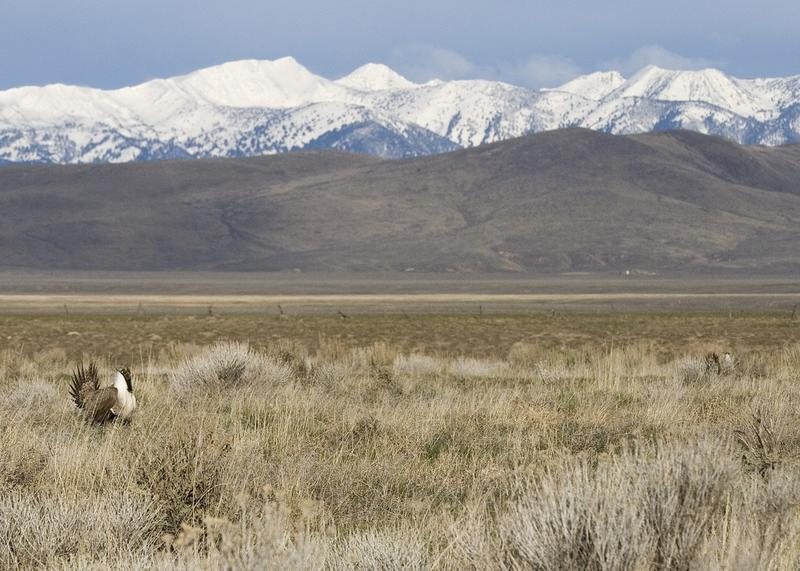 The greater sage grouse is the subject of an unprecedented conservation effort. The bird, which is found in 11 western states, could be placed on the Endangered Species List this month.