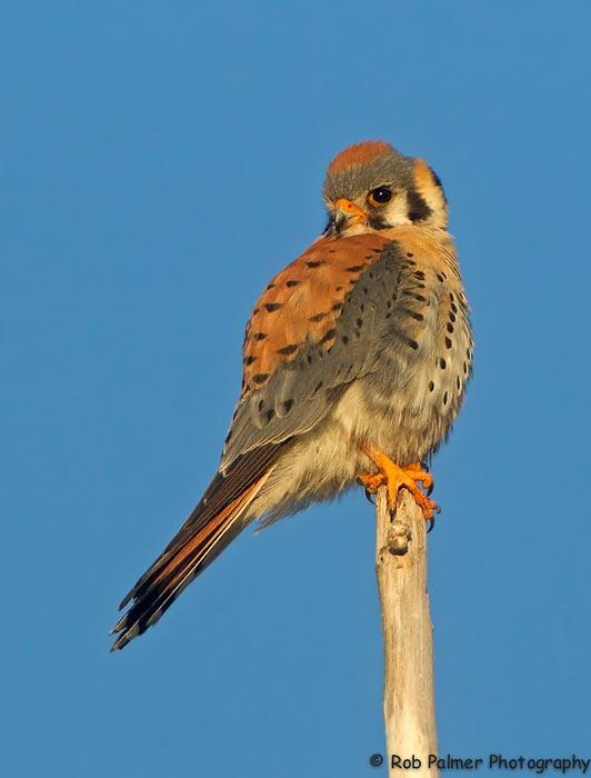 American Kestrels are doing OK in Idaho, but struggling on the East Coast.