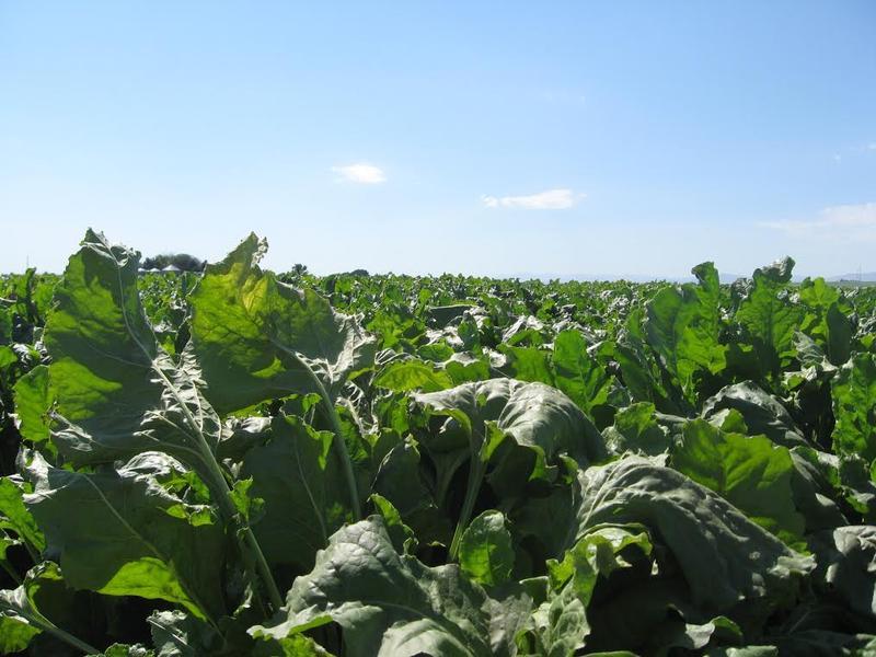A sugar beet field near Caldwell, Idaho.