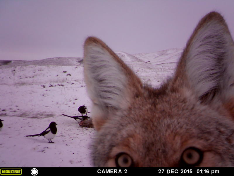 A photo from a series taken from a road kill camera trap just ten miles from downtown Boise. This story made our top 10 list from 2016's most-viewed web stories.