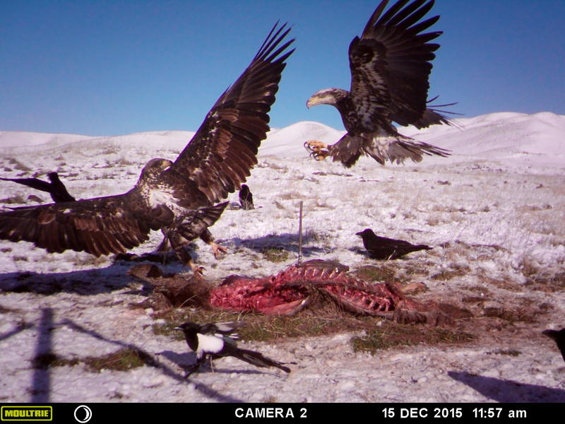 The birds are fighting over a 250-pound road kill elk carcass.