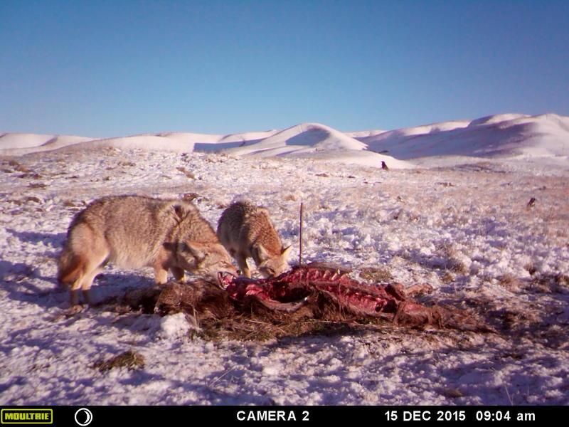 The camera traps caught eagles, foxes, coyotes, even bobcats coming to the study site.
