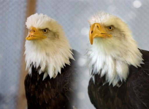 Beauty the bald eagle was the first bird to receive a prosthetic beak in 2008, created from a 3D printer.