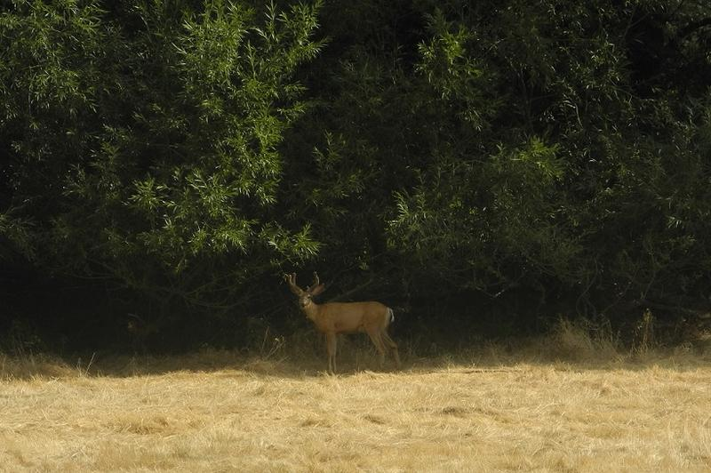 A buck grazing off the Green Belt near Warm Springs Avenue in Boise. Biologists say the area burned by the Table Rock fire could force animals to find new areas for food and shelter.