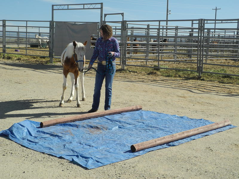 None of the horses liked this one. They need to walk across the tarp as it flaps in the wind.
