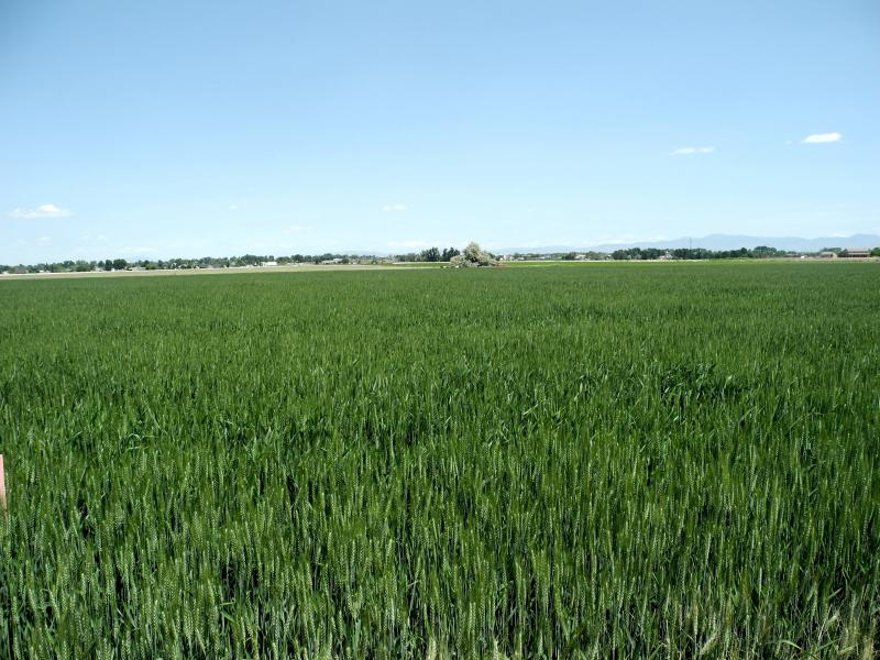 Wheat field near Nampa, Idaho.